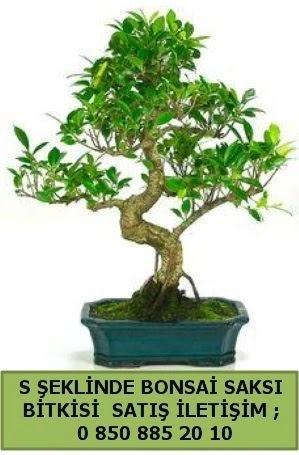 İthal S şeklinde dal eğriliği bonsai satışı  Afyon çiçek gönderme