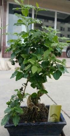 Bonsai japon ağacı saksı bitkisi  Afyon çiçek siparişi vermek