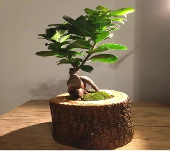 Doğal kütükte Bonsai japon ağacı satışı  Afyon internetten çiçek satışı