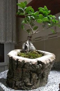 Ahşap kütük içerisinde ginseng bonsai  Afyon internetten çiçek siparişi