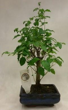 Minyatür bonsai japon ağacı satışı  Afyon çiçekçi telefonları