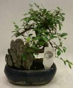 İthal 1.ci kalite bonsai japon ağacı  Afyon çiçek satışı