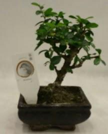 Küçük minyatür bonsai japon ağacı  Afyon çiçek gönderme