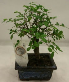 Minyatür ithal japon ağacı bonsai bitkisi  Afyon çiçek satışı