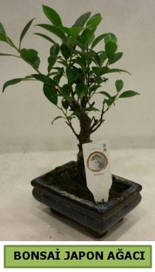 Bonsai japon ağacı saksı bitkisi  Afyon çiçek servisi , çiçekçi adresleri