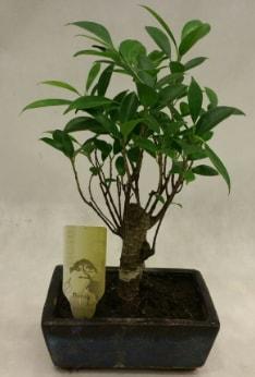 Japon ağacı bonsai bitkisi satışı  Afyon çiçekçi telefonları