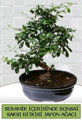 Seramik vazoda bonsai japon ağacı bitkisi  Afyon çiçek siparişi sitesi