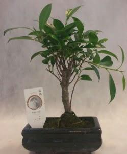 Bonsai japon ağacı bitkisi satışı  Afyon çiçek gönderme sitemiz güvenlidir