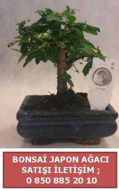 Japon ağacı minyaür bonsai satışı  Afyon çiçek satışı