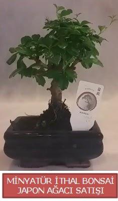 Küçük görsel bonsai japon ağacı bitkisi  Afyon çiçek , çiçekçi , çiçekçilik