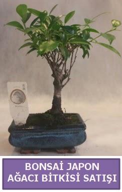 İthal Bonsai japon ağacı bitkisi satışı  Afyon İnternetten çiçek siparişi