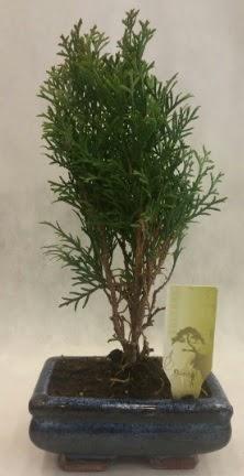 SINIRLI SAYIDA ÜRÜN Selvi Bonsai  Afyon İnternetten çiçek siparişi