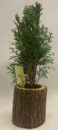 SINIRLI STOK Selvi Bonsai Doğal kütükte  Afyon İnternetten çiçek siparişi
