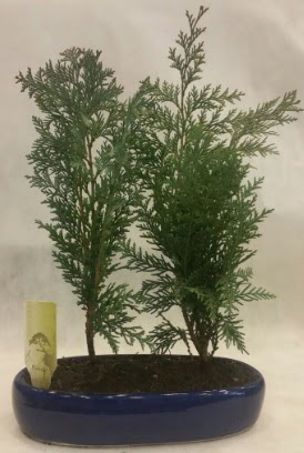 SINIRLI SAYIDA Selvi Ağacı bonsai ikili  Afyon çiçekçi telefonları