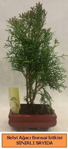 Selvi ağacı bonsai japon ağacı bitkisi  Afyon çiçek satışı