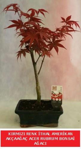İTHAL ACER RUBRUM BONSAİ AĞACI  Afyon çiçek gönderme sitemiz güvenlidir