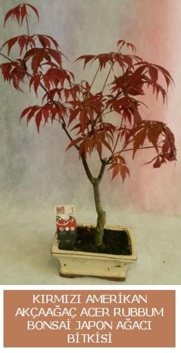 Amerikan akçaağaç Acer Rubrum bonsai  Afyon uluslararası çiçek gönderme