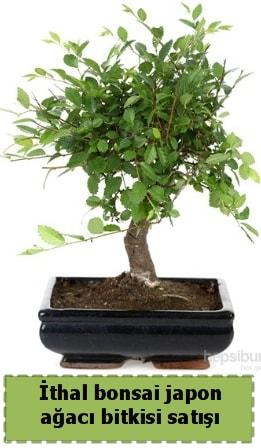 İthal bonsai saksı çiçeği Japon ağacı satışı  Afyon İnternetten çiçek siparişi