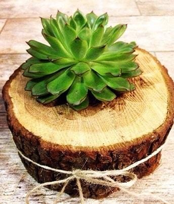Doğal kütük içerisinde sukulent kaktüs  Afyon çiçek satışı