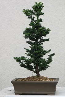 Çam ağacı bonsai bitkisi satışı  Afyon çiçekçi telefonları
