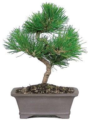 Çam ağacı bonsai japon ağacı bitkisi  Afyon çiçek gönderme