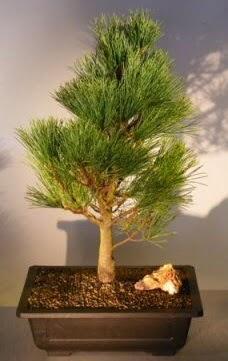Çam ağacı japon ağacı bitkisi bonsai  Afyon çiçekçi telefonları