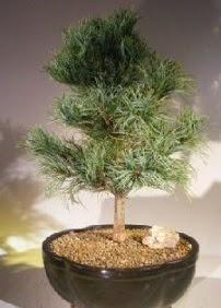 Çam ağacı bonsai bitkisi satışı  Afyon ucuz çiçek gönder