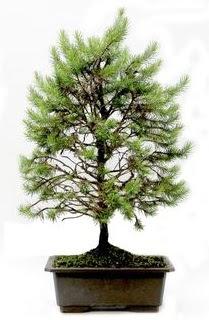 *** STOKTA YOK - Çam ağacı bonsai bitkisi satışı  Afyon cicekciler , cicek siparisi
