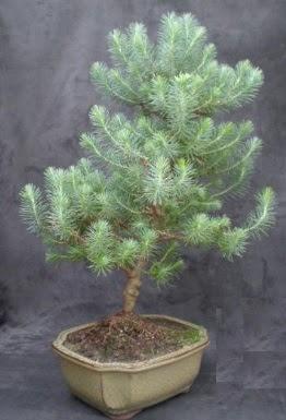Bonsai çam ağacı japon ağacı bitkisi  Afyon çiçek gönderme sitemiz güvenlidir