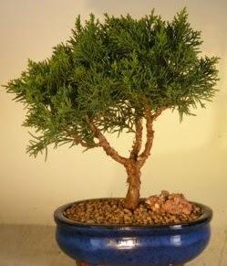 Servi çam bonsai japon ağacı bitkisi  Afyon çiçek yolla