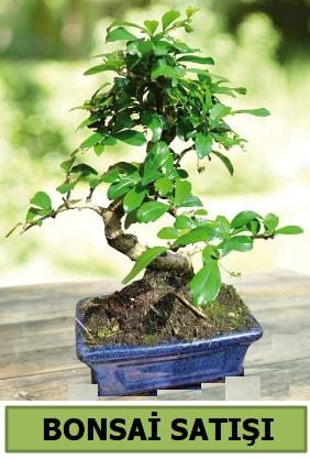 Çam bonsai japon ağacı satışı  Afyon çiçek satışı