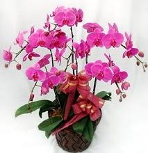 Sepet içerisinde 5 dallı lila orkide  Afyon ucuz çiçek gönder
