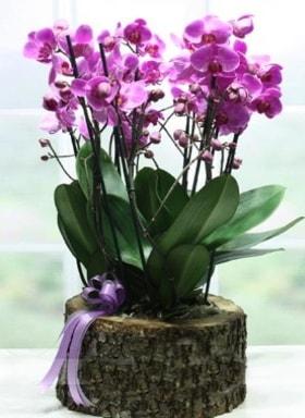 Kütük içerisinde 6 dallı mor orkide  Afyon ucuz çiçek gönder
