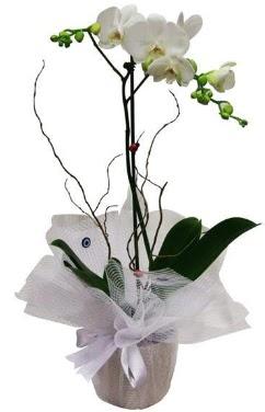Tek dallı beyaz orkide  Afyon cicek , cicekci
