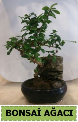 Bonsai ağacı japon ağacı satışı  Afyon hediye çiçek yolla