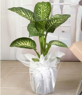 Tropik saksı çiçeği bitkisi  Afyon çiçek satışı