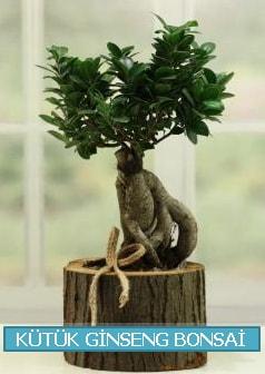 Kütük ağaç içerisinde ginseng bonsai  Afyon çiçek gönderme sitemiz güvenlidir