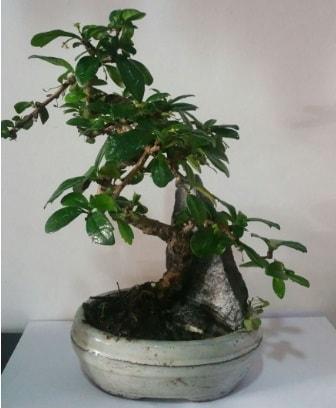 S şeklinde ithal bonsai ağacı  Afyon çiçek yolla