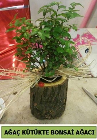 Doğal ağaç kütük içerisinde bonsai ağacı  Afyon çiçek gönderme sitemiz güvenlidir