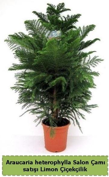 Salon Çamı Satışı Araucaria heterophylla  Afyon çiçek satışı