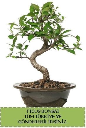Ficus bonsai  Afyon çiçek gönderme sitemiz güvenlidir