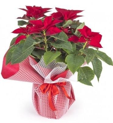Atatürk çiçeği saksı bitkisi  Afyon çiçek gönderme sitemiz güvenlidir