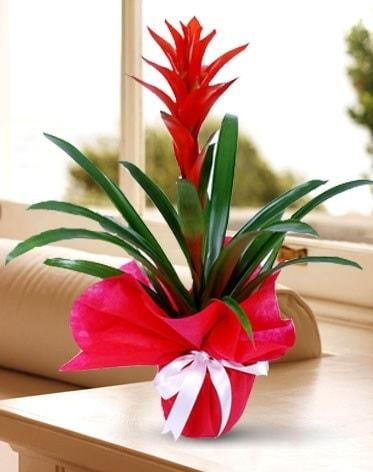 Guzmanya Saksı Çiçeği  Afyon çiçek yolla