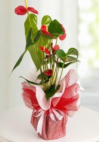 Anthurium Saksı Çiçeği  Afyon hediye çiçek yolla
