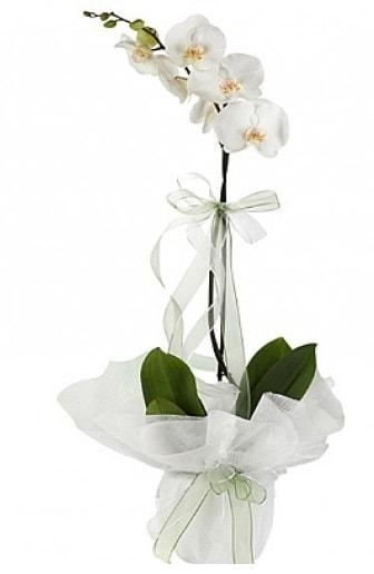 Tekli Beyaz Orkide  Afyon hediye çiçek yolla