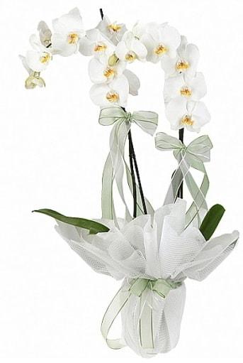 Çift Dallı Beyaz Orkide  Afyon anneler günü çiçek yolla