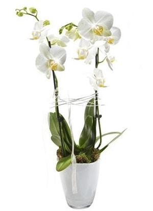2 dallı beyaz seramik beyaz orkide saksısı  Afyon çiçek gönderme sitemiz güvenlidir