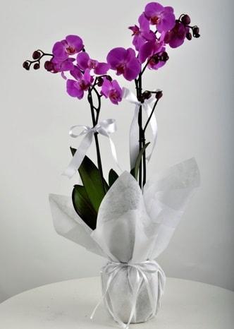 Çift dallı saksıda mor orkide çiçeği  Afyon çiçek siparişi vermek