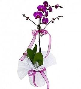 Tek dallı saksıda ithal mor orkide çiçeği  Afyon çiçekçiler
