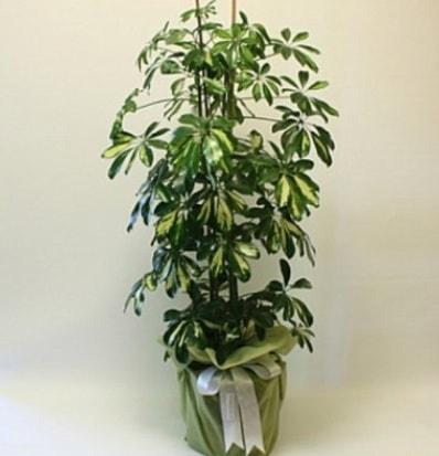 Şeflera salon bitkisi  Afyon çiçek gönderme